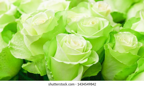 Rose bud, green and white, blooming, Soft and selective focus