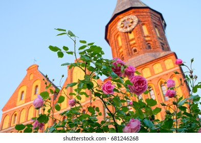 A rose bush in the background of the Cathedral in Kaliningrad