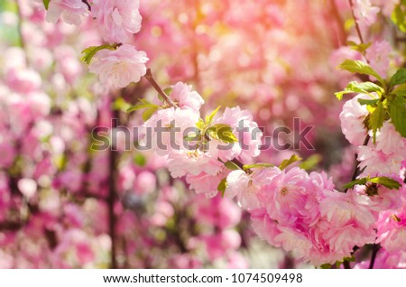 Rose Bush Blooms Spring Pink Flowers Stock Photo Edit Now
