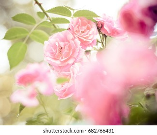 rose bush flowers in garden during blossoming period
