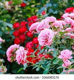 Rose bush in the garden.