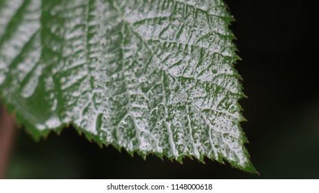 Rose bush leaves