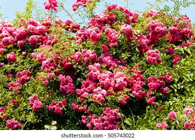 rose bush in pink color, note shallow depth of field