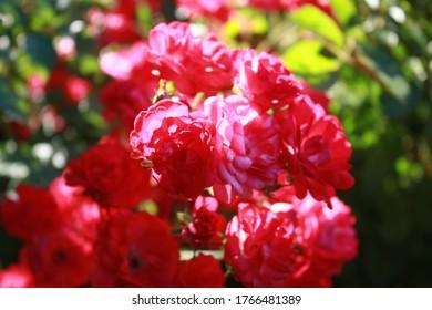 Rosenstrauch mit rosafarbenen Blumen im Garten.
