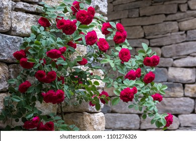 Rose bush with red climbing roses, photographed against dry stone wall.