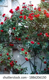 A rose bush with red flowers twining on a house wall.
