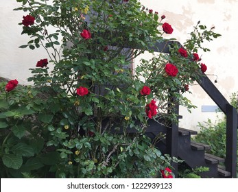 A rose bushes covered with red flowers is growing over some wooden stairs. These lead to a wooden  door in a white-washed wall.