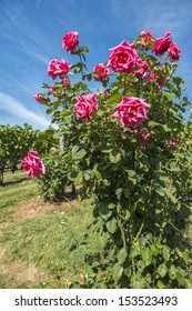 Rose Bushes in the Vineyard