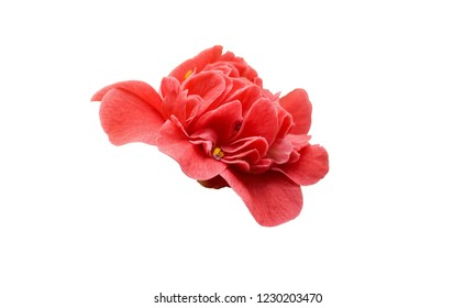 Rose Camelia. Pink Camellia flower isolated on white background, side view. Close up, top view