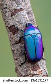 rose chafer beetle - Chlorocala africana oertzeni