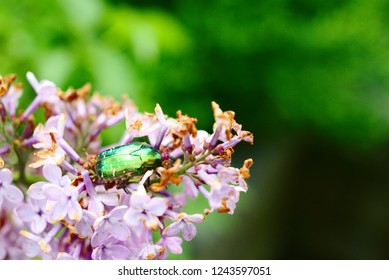 rose chafer or goldsmith beetle in lilac flowers