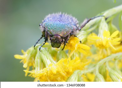 Rose chafer or the green rose chafer, Cetonia aurata, feeding on goldenrod, Solidago canadensis
