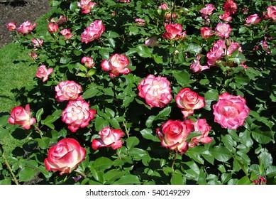 Rose, Cherry Parfait (Jubile du Prince de Monaco)