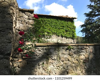 Rose climbing on medieval wall in old italian gardens.