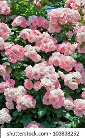 Rose: Climbing Sakura Gasumi