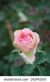 rose close up