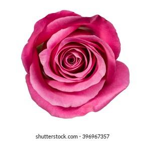 rose close up on white background