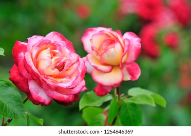 Rose - the collective name of species and varieties of the genus Brier (lat. Rósa).