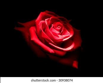 Rose in dark. Element of design.