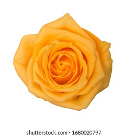 Rose dark yellow. White background