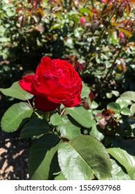 Rose, Depth of Field, Taken at the Botanical Gardens, Bronx, NY