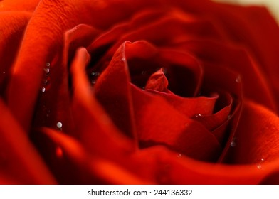 Rose with dew drops, blurred