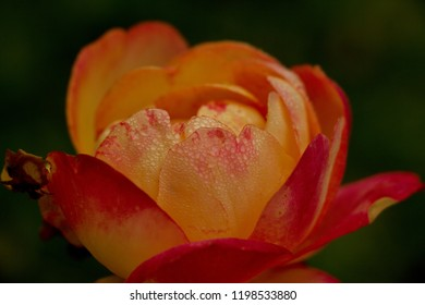 A rose drizzled with morning dew