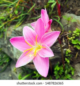 Rose fairy lily flower on Nepal