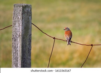 Rose Finch sitting quietly on a rusty fence overlooking the fields