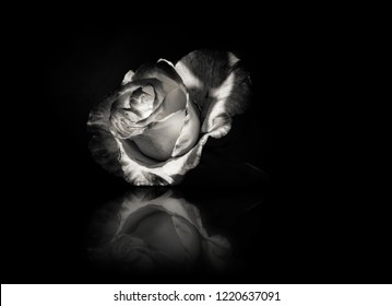 Rose flower in black ind white