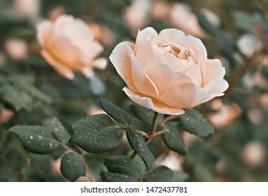 Rose flower bloom on background blurry roses in roses garden.