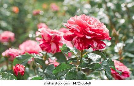 Rose flower bloom on a background of blurry red roses in a roses garden.