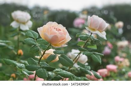 Rose flower bloom in roses garden on blurry roses background.