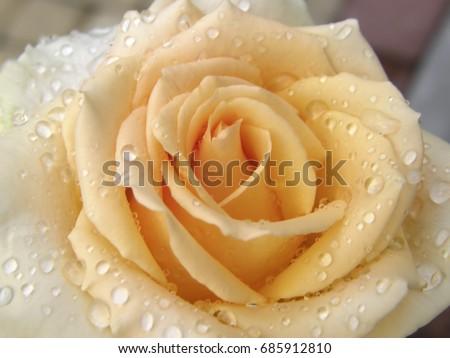 Rose Flower Flowers Very Beautiful Image Stock Photo Edit Now