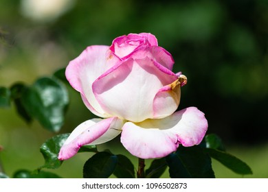 Rose flower in a garden