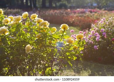 rose flower garden