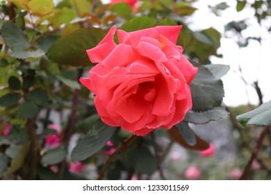 The rose flower of the rose garden(artistry)