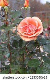 The rose flower of the rose garden(ashram)