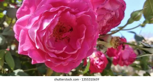 Rose flower gulaab