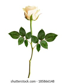 Rose flower isolated on a white background