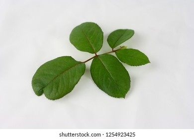 Rose flower leaf