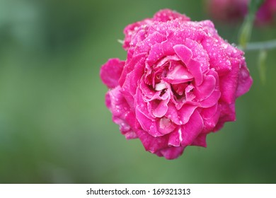 Rose flower with morning dew
