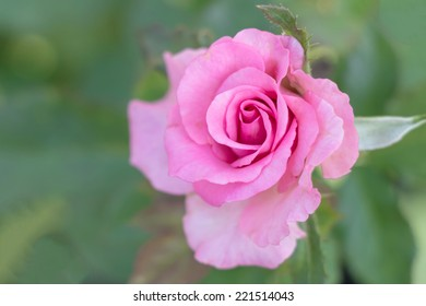 Rose flower on green background