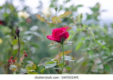 Rose flower on nature background.