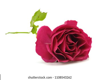 Rose flower on a white background