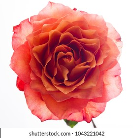 Rose flower on white isolated background