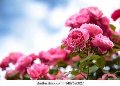 Rose flower outdoor shot image