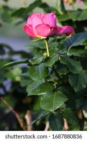 Rose Flower Pink Wild Plant