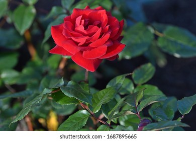 Rose Flower Plant Wild Multicolored
