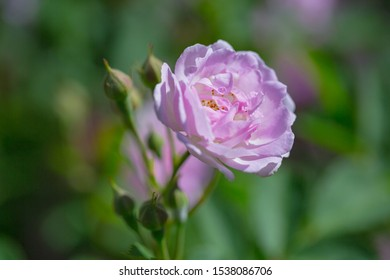 Rose flower, seven sister flower close-up, blooming outdoors in spring after the rain,Rosa multiflora Thunb. var. carnea Thory